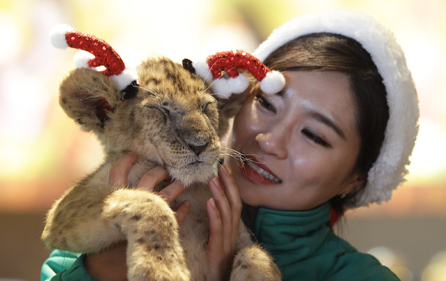 A three-month-old female lion named Dominjoon wears a Christmas hat during a Christmas event at the Everland amusement park on December 23, 2014 in Yongin, South Korea. Tigers and lions dressed in Santa Claus costumes entertained visitors at the Everland, South Korea's largest amusement park. (Photo by Chung Sung-Jun/Getty Images)
