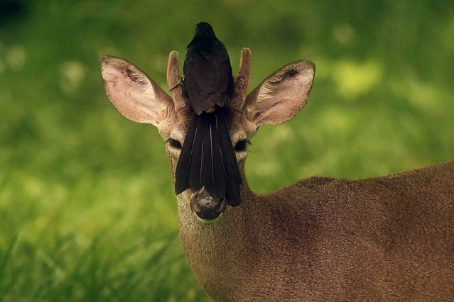 A bird rests on the head of a white-tailed deer roaming free in San Jose Villanueva, 25 km southwest of San Salvador, on May 21, 2018. (Photo by Marvin Recinos/AFP Photo)