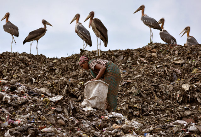 A scavenger collects recyclable items next to a flock of Greater Adjutant birds at a dump site in Guwahati, India June 4, 2018. (Photo by Anuwar Hazarika/Reuters)