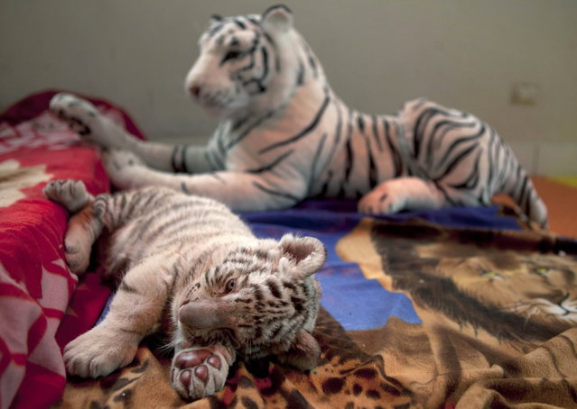 A six-week old female Bengal white tiger rests near a stuffed animal of a white tiger at the Huachipa Zoo on the outskirts of Lima, Peru, Monday, August 5, 2013. The unnamed tiger was separated from her mother, Clarita, because the mother was not lactating properly, and will join her mother in about six month, according to zoo veterinarian Catalina Hermoza. (Photo by Martin Mejia/AP Photo)