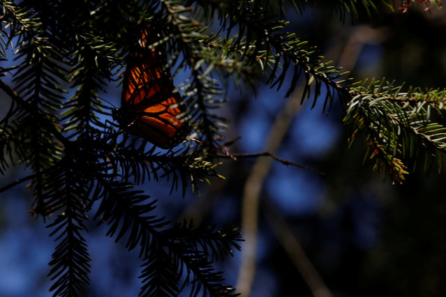 A monarch butterfly rests on a tree at the Sierra Chincua butterfly sanctuary on a mountain in Angangeo, Michoacan November 24, 2016. (Photo by Carlos Jasso/Reuters)