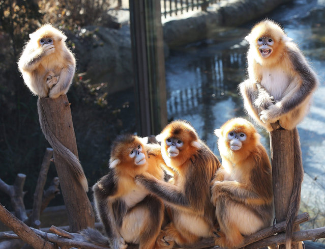 Golden monkeys at Everland Resort in Yongin, south of Seoul, South Korea, on 28 December 2015 enjoy the sun, even though the temperature dropped to its lowest so far this winter. The year 2016 is the year of the monkey in the Chinese zodiac. (Photo by EPA/Yonhap)