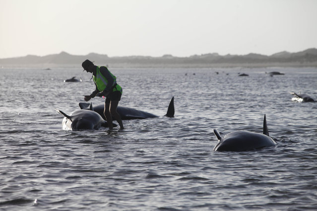 A Department of Conservation worker tends to a whale stranded on Farewell Spit, a famous spot for whale beachings, in Golden Bay on New Zealand's South Island, Friday February 13, 2015. Nearly 200 pilot whales stranded themselves on New Zealand's South Island on Friday, with hordes of rescuers rushing to the remote area in a bid to guide them back to sea. (Photo by Tim Cuff/AP Photo/New Zealand Herald)
