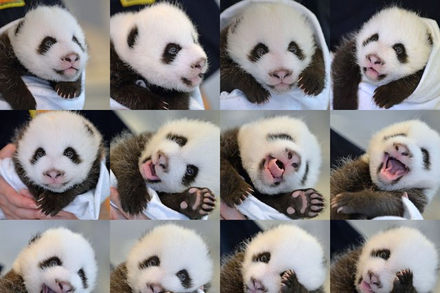 This combo photo shows newly-born giant panda twin cub B at the Atlanta Zoo in Atlanta, the United States, on September 5, 2013. (Photo by Caters News Agency)