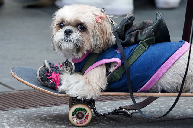 A small dog rides on a skateboard in Times Square amid the coronavirus disease (COVID-19) pandemic in New York City, New York, U.S., April 20, 2021. (Photo by Carlo Allegri/Reuters)