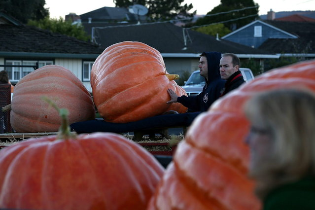 Giant pumpkins sit in truck beds before the 40th Annual Safeway World Championship Pumpkin Weigh-Off on October 14, 2013 in Half Moon Bay, California. Gary Miller of Napa, California won the 40th Annual Safeway World Championship Pumpkin Weigh-Offgigantic pumpkin with a gigantic pumpkin that weighed in at 1,985 pounds. Miller took home a cash prize of $11,910, or $6.00 a pound. (Photo by Justin Sullivan/AFP Photo)