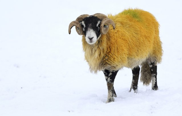 A sheep forages for food in a snow covered field in Stirlingshire,  Scotland, Britain January 17, 2016. (Photo by Russell Cheyne/Reuters)
