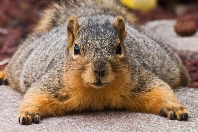 This fat furry fella looks as if it's been squirreling away too many nuts for the winter. (Photo by James Phelps/Solent News)