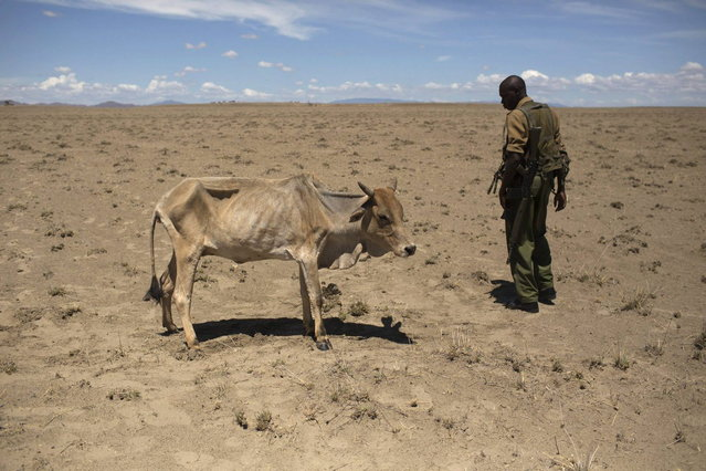 A Kenyan soldier from the Rapid Deployment Unit, an emergency response unit who were deployed due to reoccurring clashes and killings between Turkana and Dhaasanac communities, looks at a cow which is dying from hunger, a few hundred meters from the official boundary of the Kenya-Ethiopia border in northwestern Kenya October 13, 2013. (Photo by Siegfried Modola/Reuters)