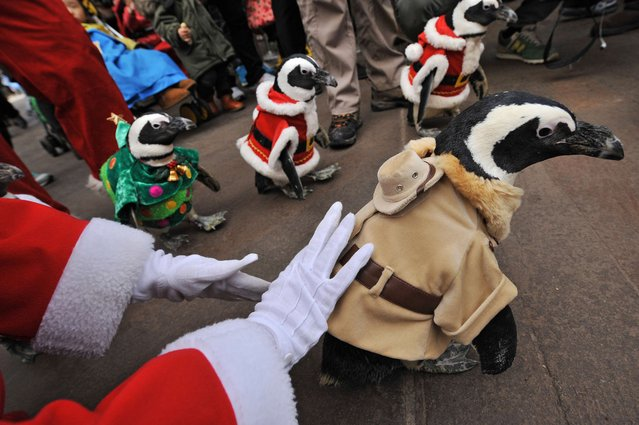 Penguins dressed in zookeeper (front) and Christmas costumes (behind) are paraded at an amusement park for a promotional event in Yongin, south of Seoul, on December 18, 2013. Everland, South Korea's largest amusement park, organized the event to launch its Christmas festival season. (Photo by Woohae Cho/AFP Photo)