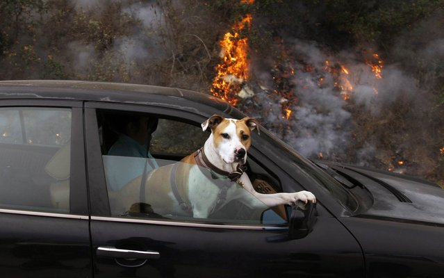 A dog riding in a car passes a fire burning near the access road to Pfeiffer Ridge in Big Sur, California, December 18, 2013. (Photo by Michael Fiala/Reuters)