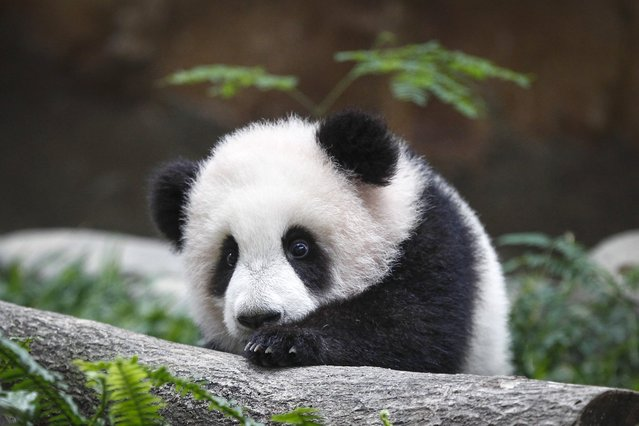 A 6-month old female giant panda cub, an offspring of Xing Xing, formerly known as Fu Wa and Liang Liang, formerly known as Feng Yi, plays at the Giant Panda Conservation Center at the National Zoo in Kuala Lumpur, Malaysia, Thursday, February 18, 2016. (Photo by Joshua Paul/AP Photo)