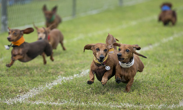 Dogs vie for top honors in this year's race as 13 different heats determined the finals. The 18th Annual Buda County Fair and Weiner Dog Races was held at city park in Buda Sunday April 26, 2015 sponsored by the Lions Club. (Photo by Ralph Barrera/Austin American-Statesman)