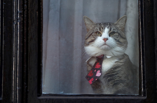 Julian Assange's cat sits behind a window at Ecuador's embassy in London, Britain, February 6, 2018. (Photo by Peter Nicholls/Reuters)