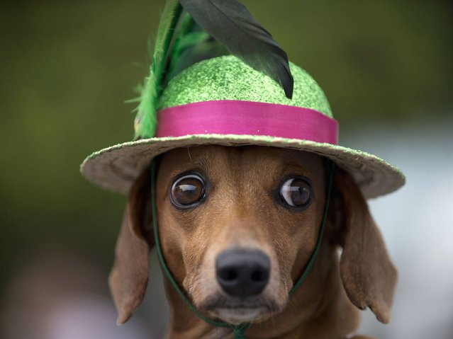 "A dog in a fancy hat is seen during the ""Blocao"" dog carnival in Rio de Janeiro . (Photo by Silvia Izquierdo/AP Photo)"