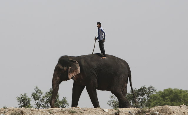 A mahout stands on the back of his elephant on the banks of the river Yamuna in New Delhi, April 8, 2016. (Photo by Anindito Mukherjee/Reuters)