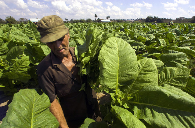 A Cuban peasant colects tobacco leaves, in Pinar del Rio, Cuba, on February 26, 2008, during the X Havana Cigar Festival. (Photo by Luis Acosta/AFP Photo)