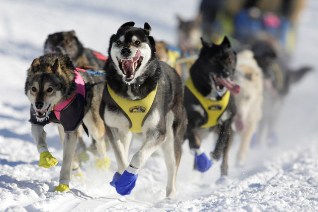 Melissa Stewart's team competes in the official restart of the Iditarod, a nearly 1,000 mile (1,610 km) sled dog race across the Alaskan wilderness, in Fairbanks, Alaska, U.S. March 6, 2017. (Photo by Nathaniel Wilder/Reuters)