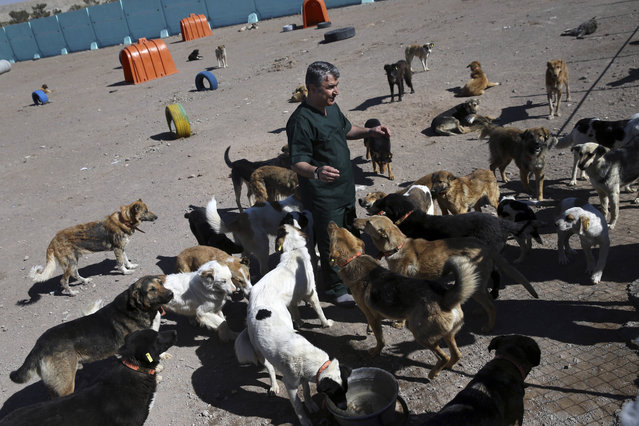 "In this picture taken on Sunday, March 5, 2017, veterinarian Hamid Ghahremanzadeh, chief of Aradkouh Stray Dogs Shelter plays with some of his charges on the outskirts of the capital Tehran, Iran. On a cold winter morning in the Iranian capital recently, a homeless dog lay basking in the sun's rays for warmth. Suddenly, the canine moaned – it had been shot with an anesthetic dart from a blowpipe. It ran several steps, then fell immobilized. The cream-and-gray colored dog was collected by a worker for a new shelter where it will be given a medical check, neutered and microchipped – the first such initiative in this country where usually strays in the street are killed. The facility is equipped with surgery rooms, sonography machines and a kitchen. On a recent day, there were 500 mature dogs and 145 puppies being looked after by the shelter's staff. All the dogs are available for adoption. The Aradkouh Stray Dogs Shelter has been hired by the Tehran city government to take a new, more humane approach to deal with the burgeoning problem of stray dogs in the capital. It's a sign of changing attitudes among officials in a country where Islamic authorities have long seen dogs as ""un-Islamic"" and at times still confiscate them from people who have dogs as pets and walk them in public or drive with them in their cars. In Islam, dogs are seen as unclean. However, police dogs, shepherd dogs and rescue dogs are common, and there have been no reports of clerical backlash against the shelter's operations. Prior to the shelter's arrival, the preferred method of dealing with stray animals was to shoot them dead. In one horrific case in 2015, dogs were injected with a deadly substance, presumably acid. Videos were published on social media showing dogs dying while moaning in agony. The videos quickly went viral, sparking widespread outrage and prompting protests by animal rights activists and celebrities. An animal activist who filmed the dog killings in the city of Shiraz in central Iran claimed that private contractors were paid about $4 for each dog they killed. Local authorities denied having any role in the incident. Since the advent of the shelter, municipal authorities claim that not a single dog is killed inhumanely and that the animals are being treated in a far more civil manner. After shooting the dogs with the darts, the animals are placed in the air-conditioned rear compartments of the dog-catcher vehicles. Upon arrival at the shelter, after being fed and checked for illness, some dogs are neutered or treated with medicine in the facility's clinic and can spend 15 to 45 days there recovering. The dogs are then given to animal supporters who adopt them or are released into the wild. Dogs that are not adopted receive a collar and a microchip that contains the dog's full history. (Photo by Vahid Salemi/AP Photo)"