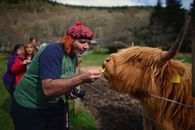 A man feeds a Highland cow in a field at Invermoriston on April 16, 2014 in Scotland. A referendum on whether Scotland should be an independent country will take place on September 18, 2014.  (Photo by Jeff J. Mitchell/Getty Images)