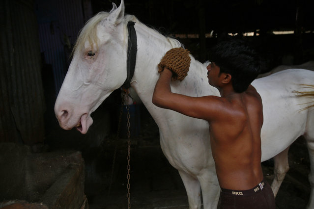 In this June 16, 2015 photo, a horse is given a massage at a stable in Mumbai, India. (Photo by Rafiq Maqbool/AP Photo)