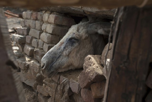 Tears of coal dust run down a donkey's face as it looks out of its shelter at a coal mine in Choa Saidan Shah in Punjab province May 5, 2014. (Photo by Sara Farid/Reuters)