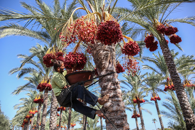 A Palestinian farmer picks dates from a palm tree during harvest in Deir al-Balah in the central Gaza Strip on September 24, 2019. (Photo by Said Khatib/AFP Photo)