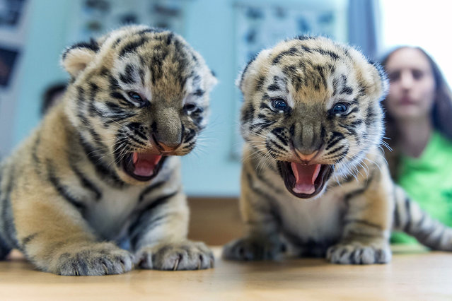 Two Siberian tiger (Panthera tigris altaica) cubs snarl during a routine medical check in Veszprem Zoo in Veszprem, 108 kms southwest of Budapest, Hungary, 15 June 2016. The cubs were born on zoo premises two weeks earlier. (Photo by Boglarka Bodnar/EPA)