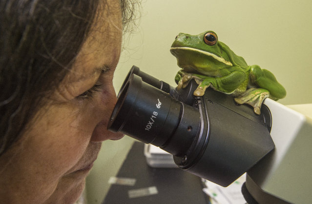 """A picture made available on 29 June 2016 shows Cairns Frog Hospital president Deborah Pergolotti looking through a microscope under the watchful eye of a White Lipped Tree Frog, which has a damaged right eye and water retention, in the """"Frog Room"""" of the Cairns Frog Hospital in Cairns, Queensland, Australia, 27 June 2016. Australia's only dedicated frog hospital is facing an uncertain future after its property was listed for sale. The Cairns Frog Hospital, which relies on public donations and operates out of a small single-storey Edmonton house, has taken in almost 2,800 adult frogs since it began in 1998. (Photo by Brian Cassey/EPA)"""