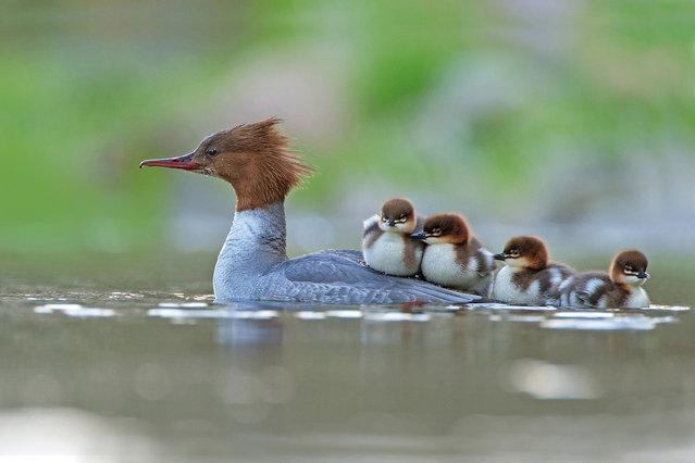 Goosander and brood by Jonathan Gaunt, UK. Category: bird behaviour. A female goosander (Mergus merganser) on an upland stream with her newly hatched brood, on the edge of the Cheviot Hills in Northumberland. (Photo by Jonathan Gaunt/2017 Bird Photographer of the Year Awards)