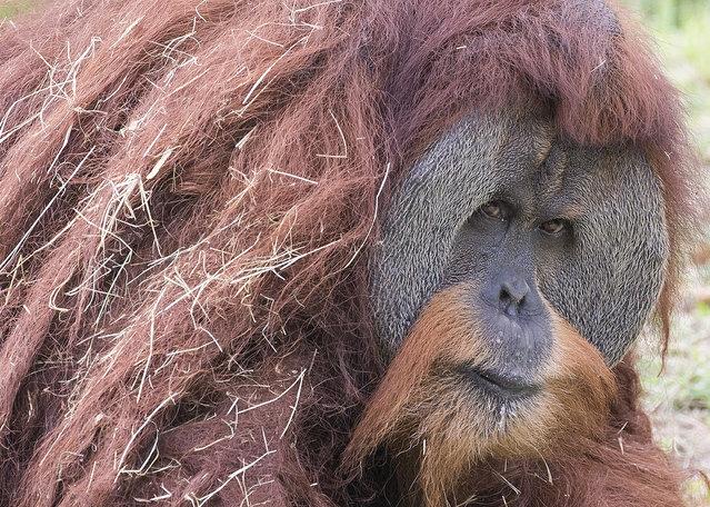 A Sumatran orangutan named Mango looks out from his habitat at Zoo Miami, Friday, July 15, 2016, in Miami. Zoo Miami unveiled its new $19 million, 1.5 acre entry plaza Friday. (Photo by Wilfredo Lee/AP Photo)