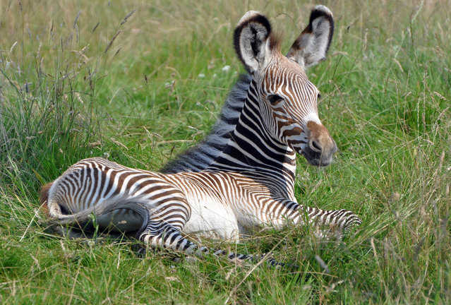 She may be only three-weeks old, but a rare baby zebra born at ZSL Whipsnade Zoo is already making her mum earn her racing stripes. The as yet unnamed Grevy's zebra, born on July 17, can be spotted giving mum Henna the run-around and gambolling in the paddock they share with the rest of the herd, including dad Abeba. (Photo by Jeff Moore/Splash News)