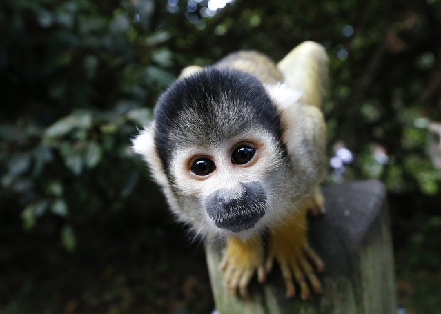 A squirrel monkey looks into the camera during a photocall at London Zoo, Thursday, August 21, 2014. (Photo by Kirsty Wigglesworth/AP Photo)