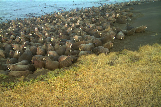In this September 7, 2015, photo from an unmanned remote camera and provided by U.S. Fish and Wildlife walruses lay on the beach at Point Lay, Alaska. The U.S. Fish and Wildlife Service says 64 walruses died on the northwest Alaska beach and the animals may have been killed in stampedes. (Photo by U.S. Fish and Wildlife via AP Photo)