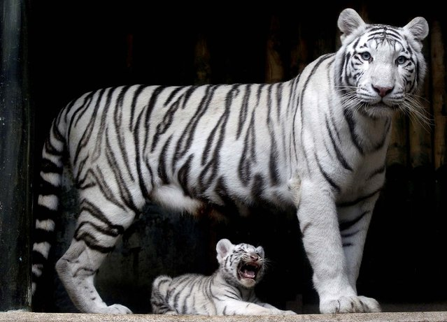 A rare white Indian tiger cub, one of triplets that were born in July, sits at the feet of its mother Surya Bara at a zoo in the city of Liberec, Czech Republic, on September 3, 2012. (Photo by Petr David Josek/Associated Press)