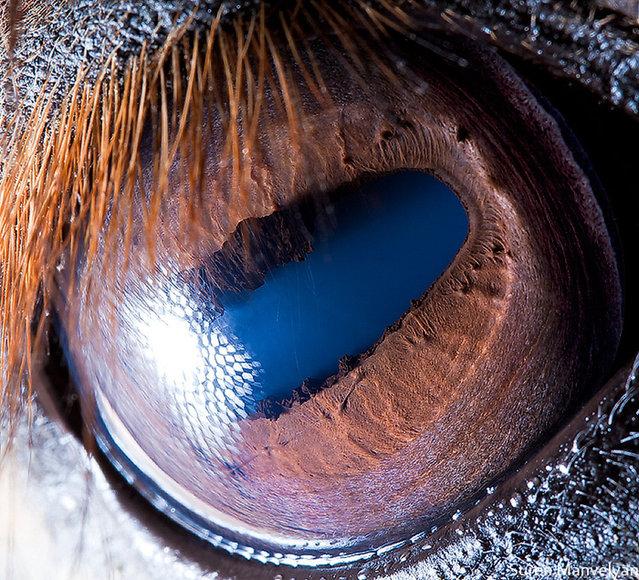 Animal Eyes by Suren Manvelyan