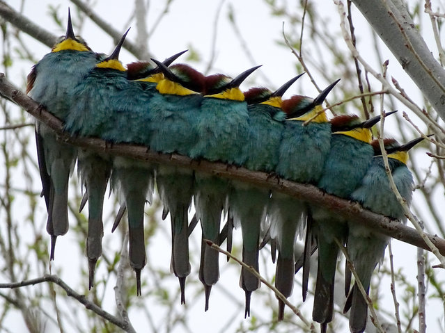 Blue-throated bee-eaters are perched on a branch on a spring day in Kars, Turkey on May 13, 2020 (Photo by Huseyin Demirci/Anadolu Agency via Getty Images)