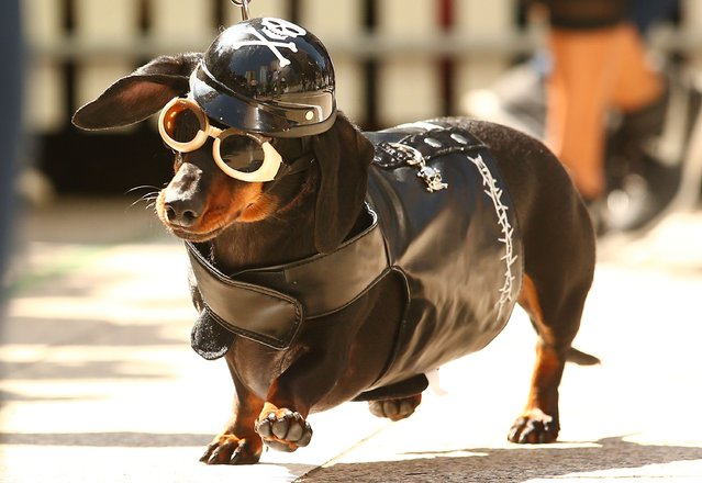 Mini dachshund Chilli, dressed as a biker dog competes in the Hophaus Southgate Inaugural Best Dressed Dachshund competition on September 19, 2015 in Melbourne, Australia. (Photo by Scott Barbour/Getty Images)