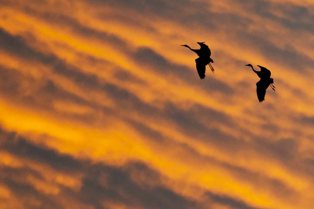 Migrating cranes fly together during sunset near Straussfurt, Germany, November 25, 2012. (Photo by Jens Meyer/Associated Press)