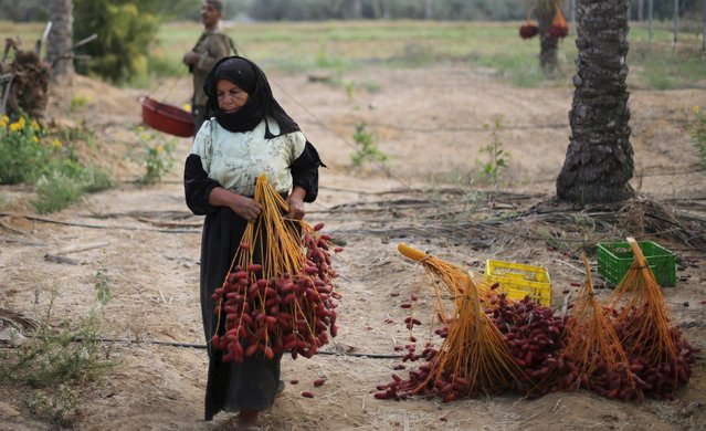 A Palestinian woman carries a bunch of freshly picked dates during harvest season in Khan Younis in the southern Gaza Strip October 4, 2015. (Photo by Ibraheem Abu Mustafa/Reuters)