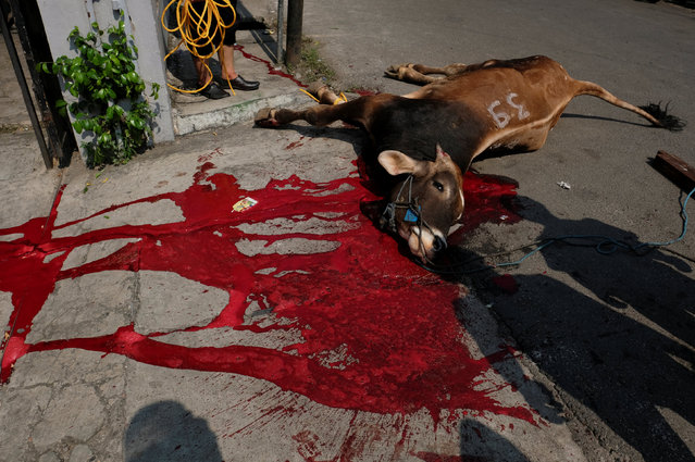 A cow that was sacrificed for the Muslim holiday of Eid Al-Adha is seen outside a mosque at Pasar Senin in Jakarta, Indonesia, September 12, 2016. (Photo by Reuters/Beawiharta)