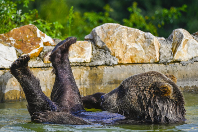 A brown bears cools off in a pool at the bear sanctuary near the village of Mramor, on August 18, 2020. The bear sanctuary was closed for visitors on August 18, as part of safety measures to curb the spread of the COVID-19 (novel coronavirus) disease. (Photo by Armend Nimani/AFP Photo)