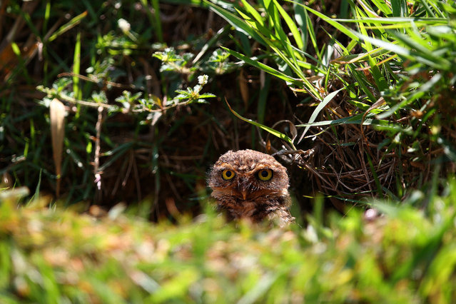 An owl perches next to the track during practice ahead of the Brazilian Formula One Grand Prix at Autodromo Jose Carlos Pace on November 7, 2014 in Sao Paulo, Brazil. (Photo by Mark Thompson/Getty Images)