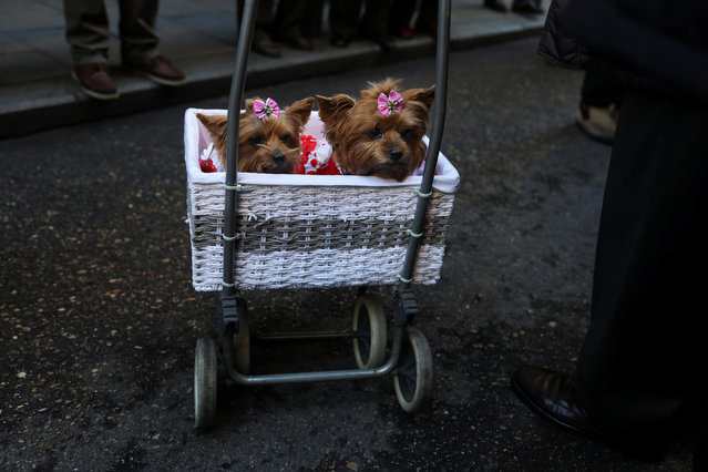 Dogs Tania and Sofia rest in their basket after being blessed outside San Anton Church in Madrid, Spain, January 17, 2018. (Photo by Susana Vera/Reuters)