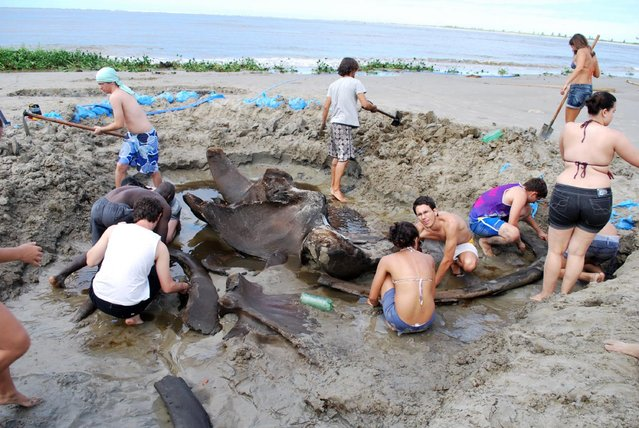 The fossil of a blue whale age of 2 thousand years was found  on Praia do Leste beach, the southern coast of São Paulo. Blue whales are on the verge of disappearance and total less than 200 individuals in the whole world. (Photo by Divulgação/Unesp)