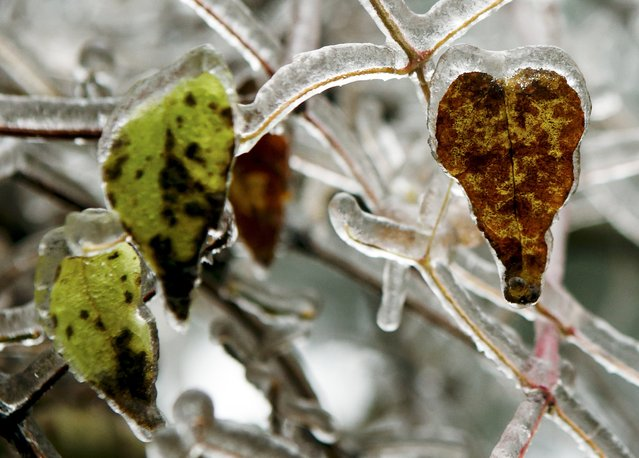 Ice covered leafs are pictured on a tree near Amstall in northern Austria, December 2, 2014. (Photo by Heinz-Peter Bader/Reuters)