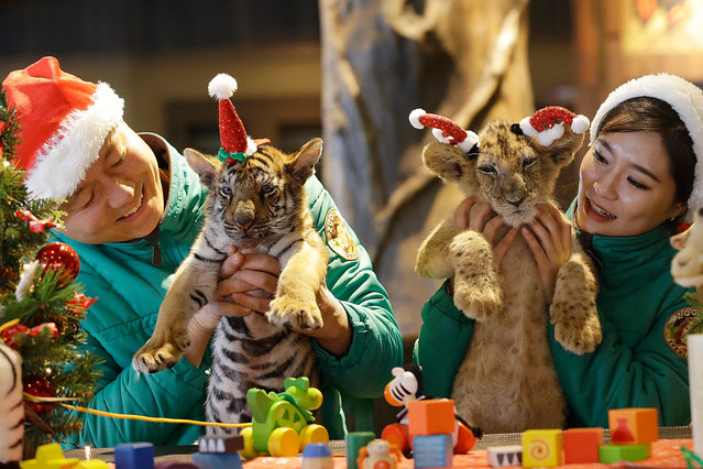 A lion cub named Dominjun, right, and a tiger cub named Jangbori wearing Santa Claus caps are held by amusement park employees during an event to celebrate Christmas at the Everland amusement park in Yongin, South Korea, Tuesday, December 23, 2014. (Photo by Ahn Young-joon/AP Photo)