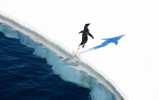 "This undated handout photo received from the Antarctic Ocean Alliance on October 28, 2016 shows a adelie penguin jumping onto the ice in the Ross Sea in Antarctica. The world's largest marine reserve aimed at protecting the pristine wilderness of Antarctica will be created after a ""momentous"" agreement was finally reached on October 28, 2016 with Russia dropping its long-held opposition. A remote and largely pristine stretch of ocean off Antarctica received international protection on Friday, becoming the world's largest marine reserve as a broad coalition of countries came together to protect 598,000 square miles of water. The new marine protected area in the Ross Sea was created by a unanimous decision of the international body that oversees the waters around Antarctica – the Commission for the Conservation of Antarctic Marine Living Resources – and was announced at the commission's annual meeting in Tasmania. The commission comprises 24 countries, including the United States, and the European Union. (Photo by John Weller/AFP Photo/Antarctic Ocean Alliance)"
