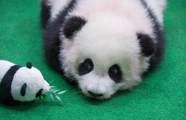 A female panda cub keeps an eye on her stuffed toy companion as she makes her public debut in Kuala Lumpur, Malaysia on May 26, 2018. (Photo by Xinhua News Agency/Rex Features/Shutterstock)