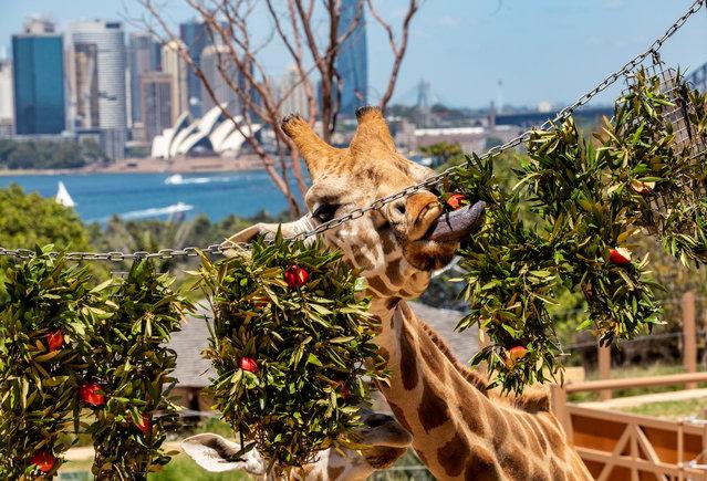 A giraffe enjoys Christmas wreaths at Taronga Zoo in Sydney, Australia on December 9, 2020. (Photo by Rick Stevens/Taronga Zoo Sydney via Reuters)